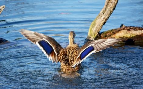 Wings of blue.